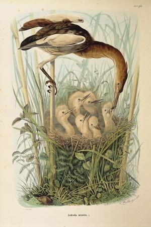 Illustration from Eugenio BettoniS Natural History of Birds That Nest in Lombardy Representing Litt--Framed Giclee Print