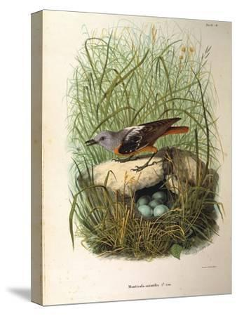 Illustration from Eugenio BettoniS Natural History of Birds That Nest in Lombardy Representing Rock--Stretched Canvas Print