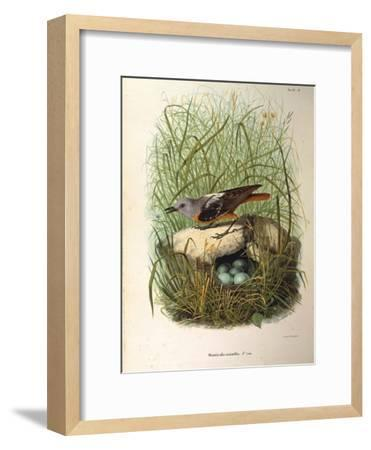 Illustration from Eugenio BettoniS Natural History of Birds That Nest in Lombardy Representing Rock--Framed Giclee Print