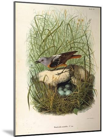 Illustration from Eugenio BettoniS Natural History of Birds That Nest in Lombardy Representing Rock--Mounted Giclee Print