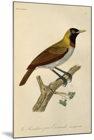 Juvenile Male of Lesser Bird-Of-Paradise (Paradisaea Minor)--Mounted Giclee Print