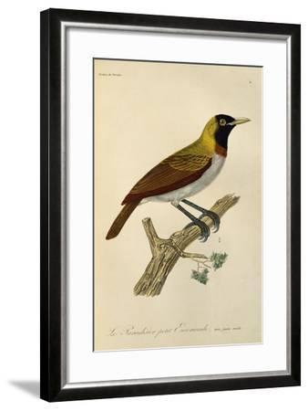 Juvenile Male of Lesser Bird-Of-Paradise (Paradisaea Minor)--Framed Giclee Print