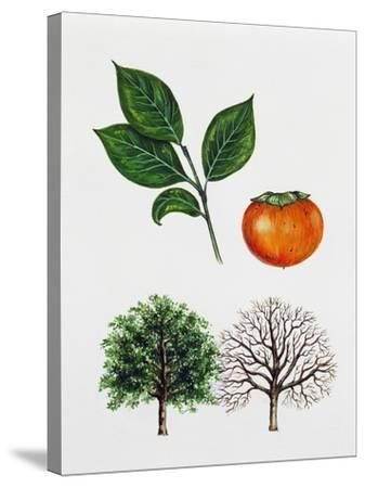 Japanese Persimmon--Stretched Canvas Print