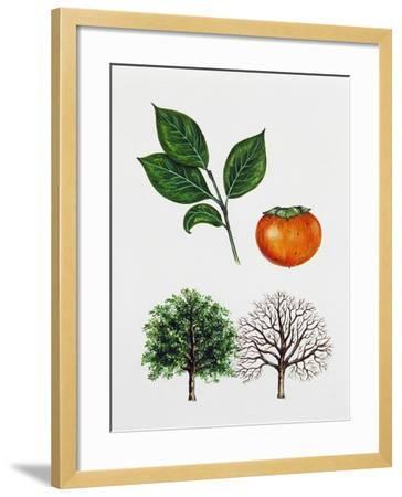 Japanese Persimmon--Framed Giclee Print