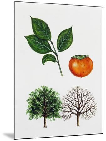 Japanese Persimmon--Mounted Giclee Print