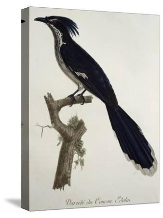 Levaillant's Cuckoo (Clamator Levaillantii)--Stretched Canvas Print