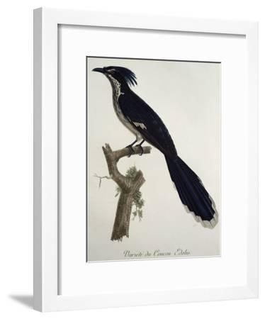 Levaillant's Cuckoo (Clamator Levaillantii)--Framed Giclee Print