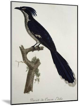 Levaillant's Cuckoo (Clamator Levaillantii)--Mounted Giclee Print
