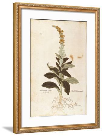 Mullein - Verbascum Thapsus (Verbasco Candidum Mas) by Leonhart Fuchs from De Historia Stirpium Com--Framed Giclee Print