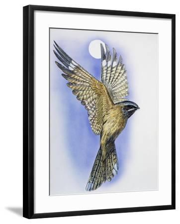 Male Nightjar During Courtship Display with Wings Held in V-Shape and Tail Fanned (Caprimulgus Euro--Framed Giclee Print