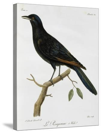 Male Red-Winged Starling (Onychognathus Morio)--Stretched Canvas Print