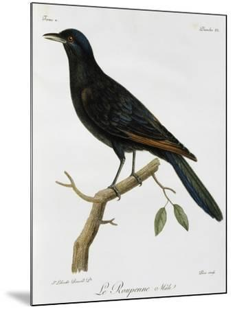 Male Red-Winged Starling (Onychognathus Morio)--Mounted Giclee Print