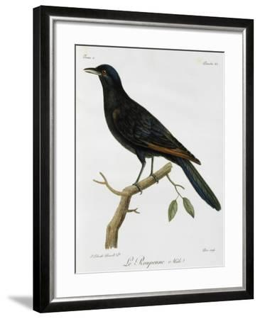 Male Red-Winged Starling (Onychognathus Morio)--Framed Giclee Print
