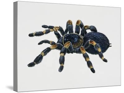 Mexican Redkneed Tarantula (Euathlus Smithi or Brachypelma Smithi)--Stretched Canvas Print