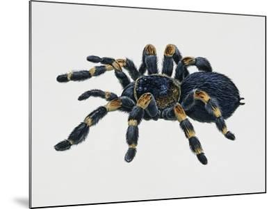 Mexican Redkneed Tarantula (Euathlus Smithi or Brachypelma Smithi)--Mounted Giclee Print