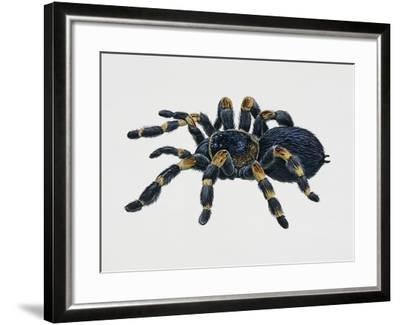 Mexican Redkneed Tarantula (Euathlus Smithi or Brachypelma Smithi)--Framed Giclee Print