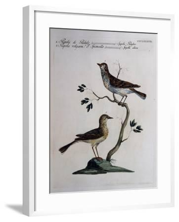Marsh Meadow Pipit (Spipola Palustris) and Pipit known as Water Pipit (Spipola Altera)--Framed Giclee Print