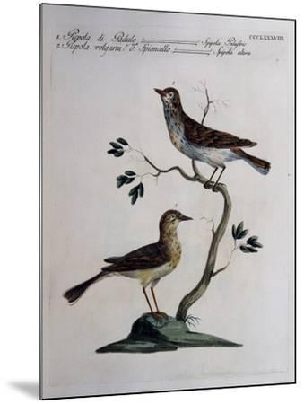 Marsh Meadow Pipit (Spipola Palustris) and Pipit known as Water Pipit (Spipola Altera)--Mounted Giclee Print