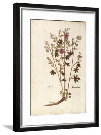 Marshmallow - Althaea by Leonhart Fuchs from De Historia Stirpium Commentarii Insignes (Notable Com--Framed Giclee Print