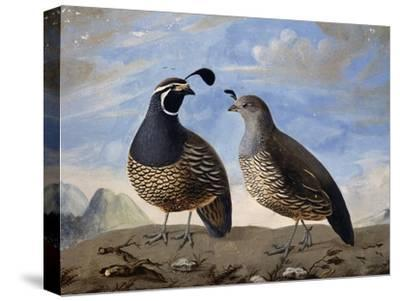 Pair of Californian Partridges--Stretched Canvas Print