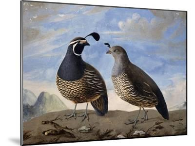 Pair of Californian Partridges--Mounted Giclee Print