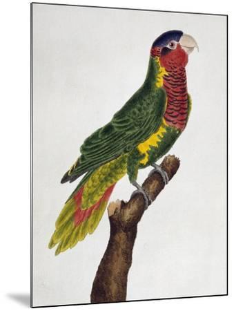 Ornate Lorikeet (Trichoglossus Ornatus)--Mounted Giclee Print