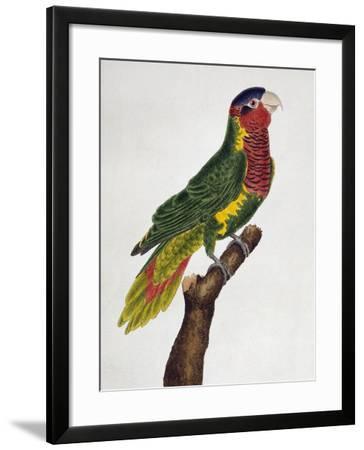 Ornate Lorikeet (Trichoglossus Ornatus)--Framed Giclee Print