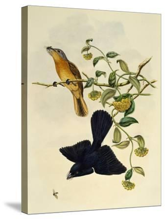 Ochre-Headed Flycatcher (Myiagra Cervinicauda)--Stretched Canvas Print
