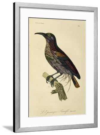 Paradise Riflebird Young Male (Ptiloris Paradiseus)--Framed Giclee Print