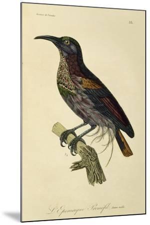 Paradise Riflebird Young Male (Ptiloris Paradiseus)--Mounted Giclee Print