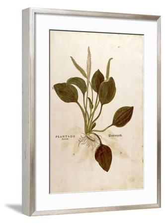 Plantain (Plantago Major) by Leonhart Fuchs from De Historia Stirpium Commentarii Insignes (Notable--Framed Giclee Print