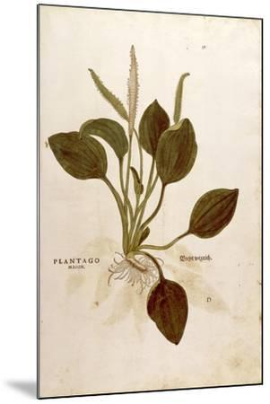 Plantain (Plantago Major) by Leonhart Fuchs from De Historia Stirpium Commentarii Insignes (Notable--Mounted Giclee Print