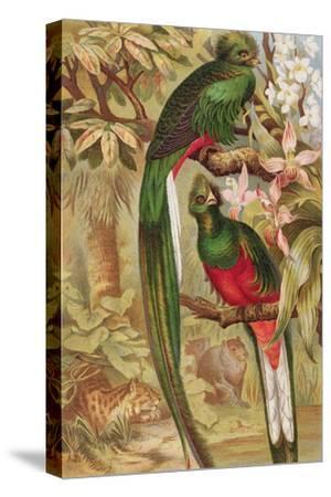 Quetzal--Stretched Canvas Print