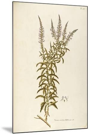 Scrophulariaceae--Mounted Giclee Print