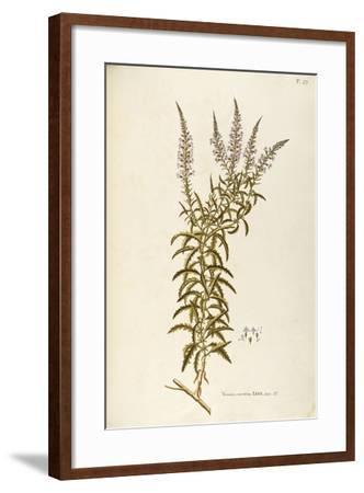 Scrophulariaceae--Framed Giclee Print
