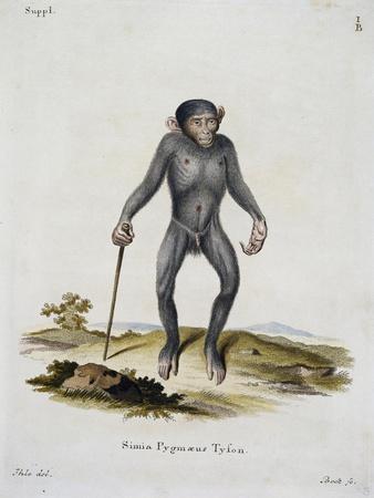 Simia Pygmaeus--Framed Giclee Print