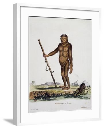 Simia Satyrus--Framed Giclee Print