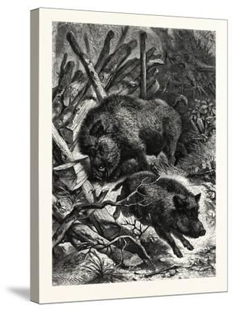Wild Boars. after Specht. Wild Boar (Sus Scrofa)--Stretched Canvas Print