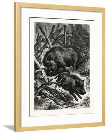 Wild Boars. after Specht. Wild Boar (Sus Scrofa)--Framed Giclee Print
