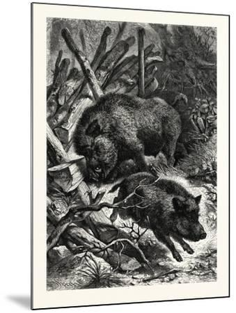 Wild Boars. after Specht. Wild Boar (Sus Scrofa)--Mounted Giclee Print