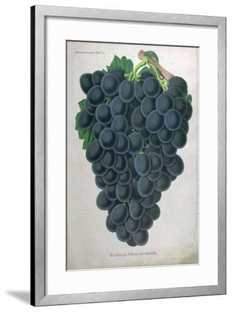 Wine Grapes--Framed Giclee Print