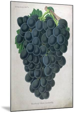 Wine Grapes--Mounted Giclee Print