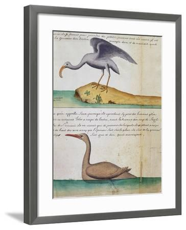 Unknown Bird and Birdo Called Foux (Booby)--Framed Giclee Print
