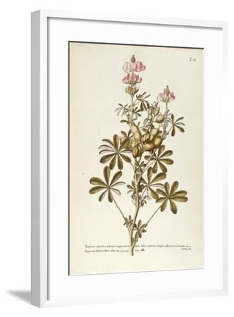 White Lupin (Lupinus Albus)--Framed Giclee Print
