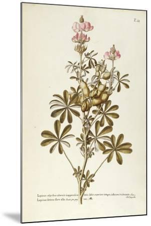 White Lupin (Lupinus Albus)--Mounted Giclee Print