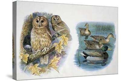 Close-Up of a Pair of Tawny Owls Perching on a Tree (Strix Aluco) and Ducks Swimming in a Pond (Ana--Stretched Canvas Print