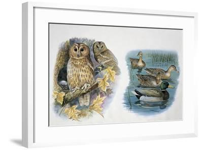 Close-Up of a Pair of Tawny Owls Perching on a Tree (Strix Aluco) and Ducks Swimming in a Pond (Ana--Framed Giclee Print