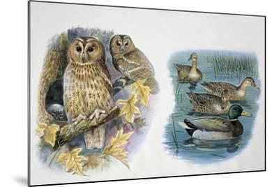 Close-Up of a Pair of Tawny Owls Perching on a Tree (Strix Aluco) and Ducks Swimming in a Pond (Ana--Mounted Giclee Print