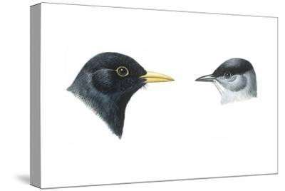 Birds: Passeriformes, Heads of Blackbird (Turdus Merula) and Blackcap (Sylvia Atricapilla)--Stretched Canvas Print