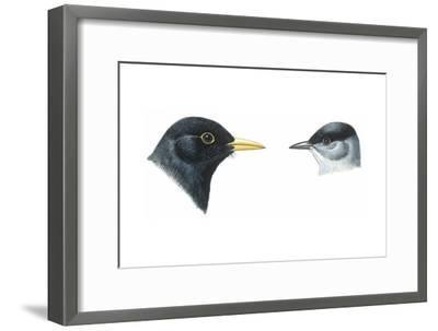 Birds: Passeriformes, Heads of Blackbird (Turdus Merula) and Blackcap (Sylvia Atricapilla)--Framed Giclee Print